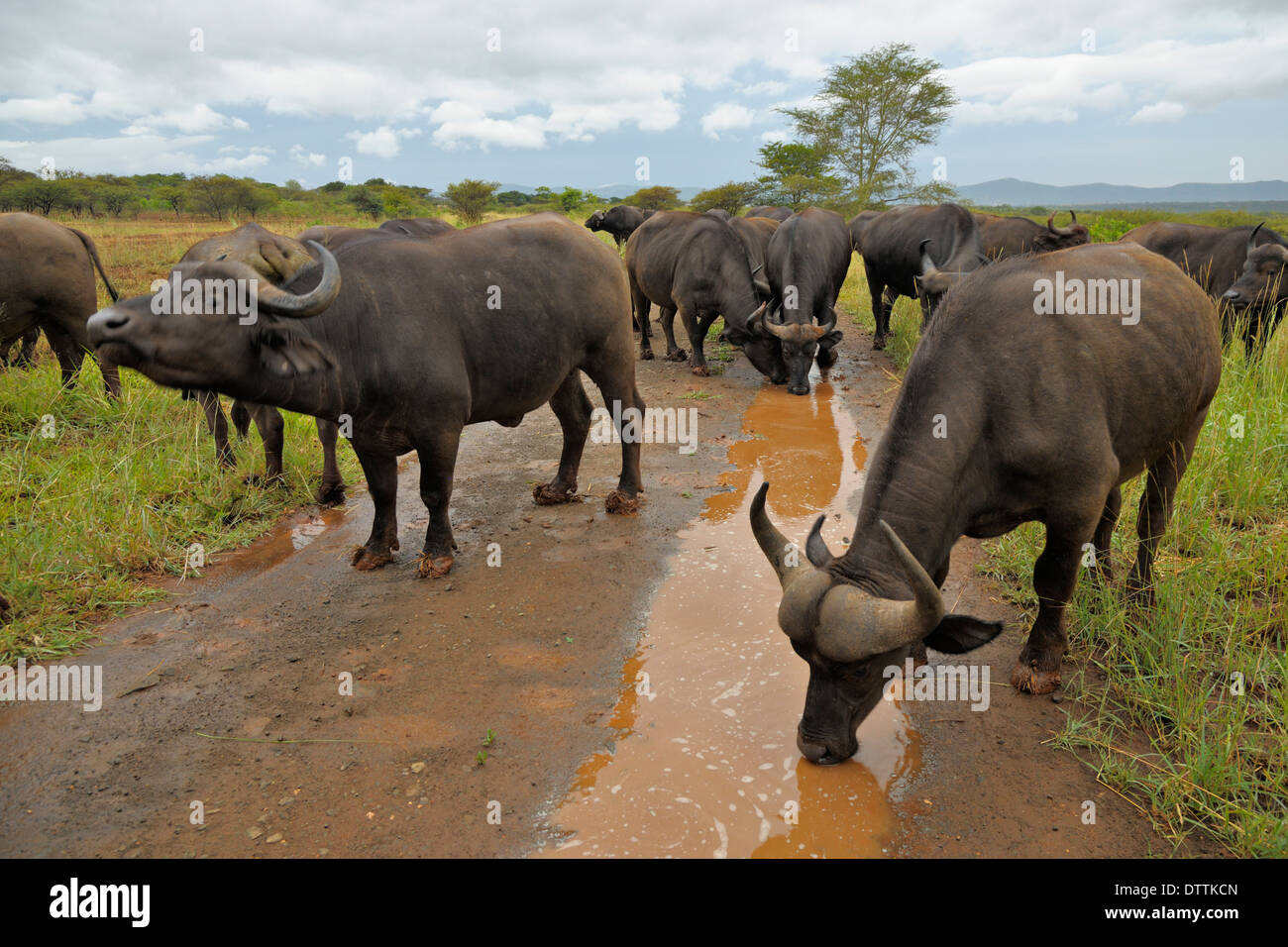A herd of African Buffalo drinking water from puddles in the Thanda Game Reserve, Mkuze in the Kwa-Zulu Natal Province - Stock Image