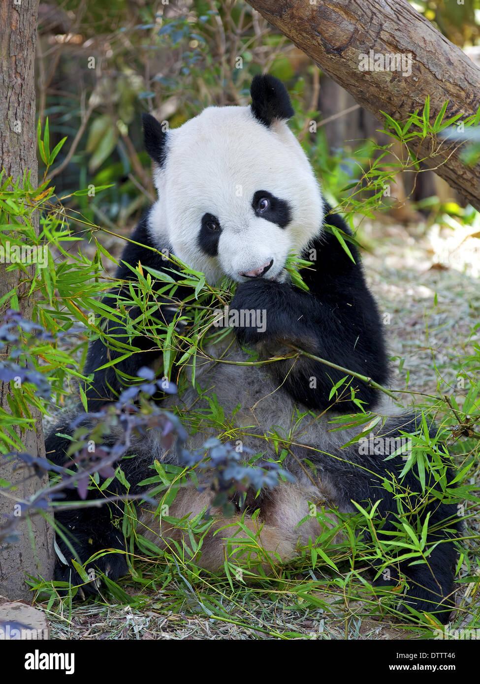 Giant Panda - Stock Image