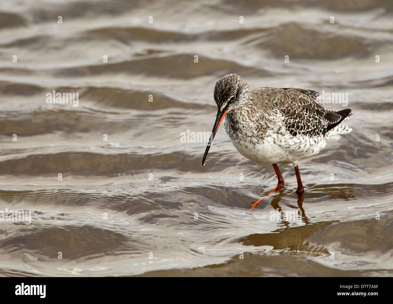 Spotted Redshank in the shallows searching for food Stock Photo