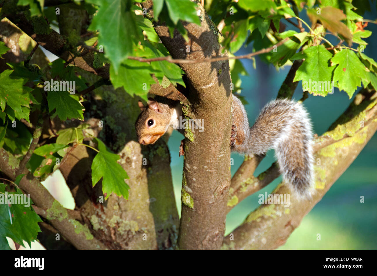 Squirrel in branches of tree - Stock Image