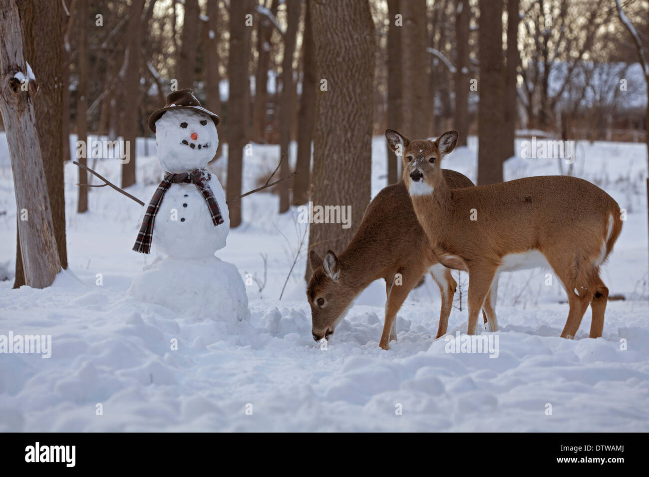 White-tailed deer , Odocoileus virginianus, New York, USA, with snowman, background may have digital retouching - Stock Image