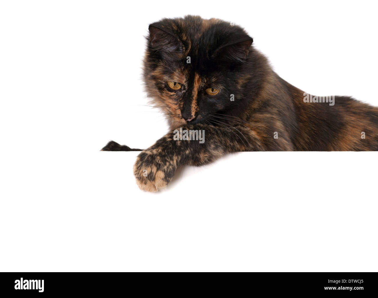 Cat with blank Noticeboard - Stock Image