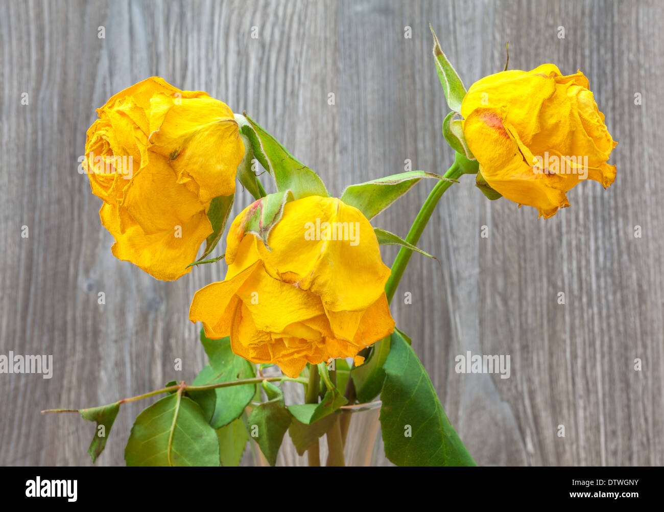 Three withered yellow roses close up - Stock Image