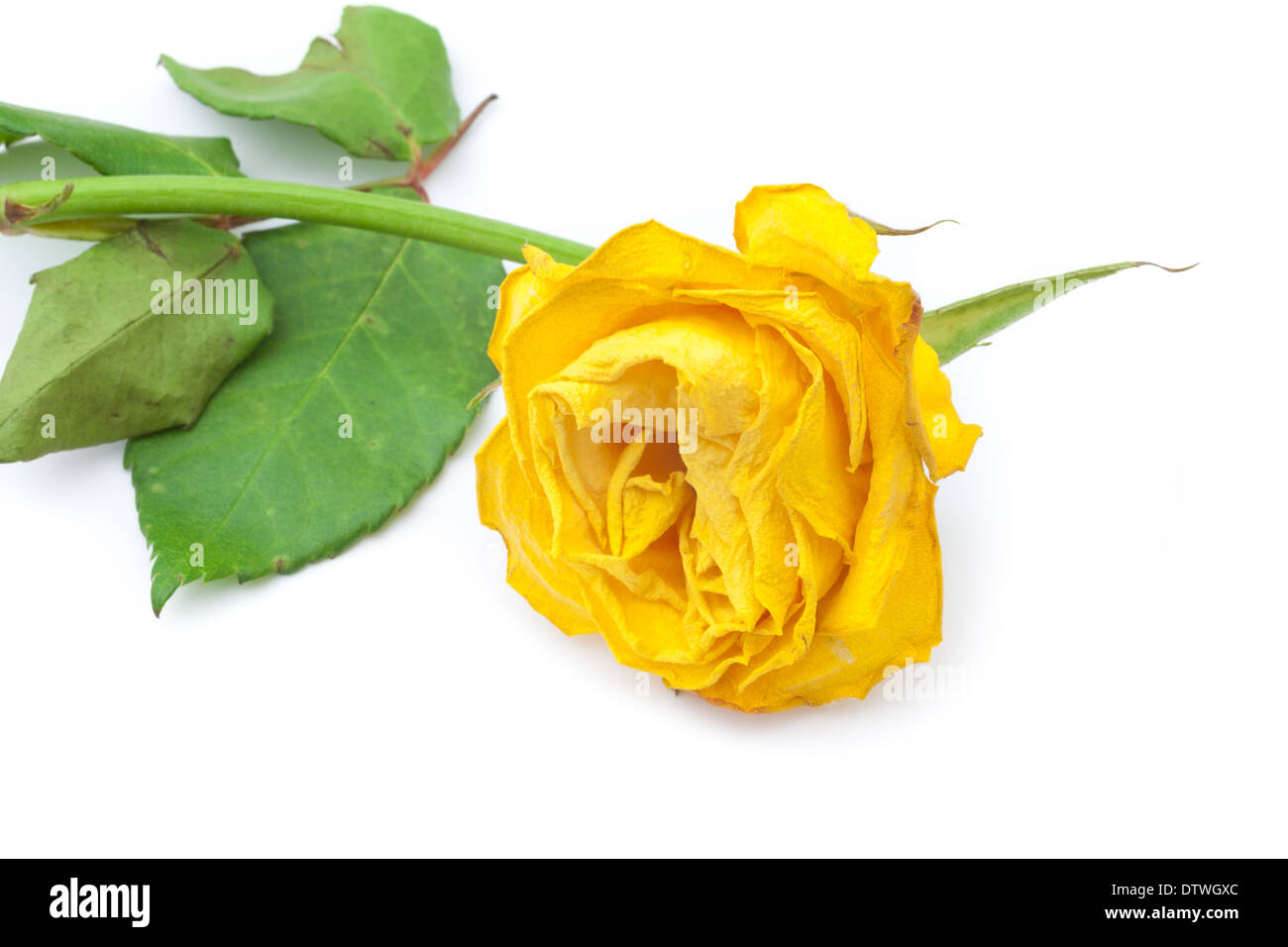 Withered yellow rose - Stock Image