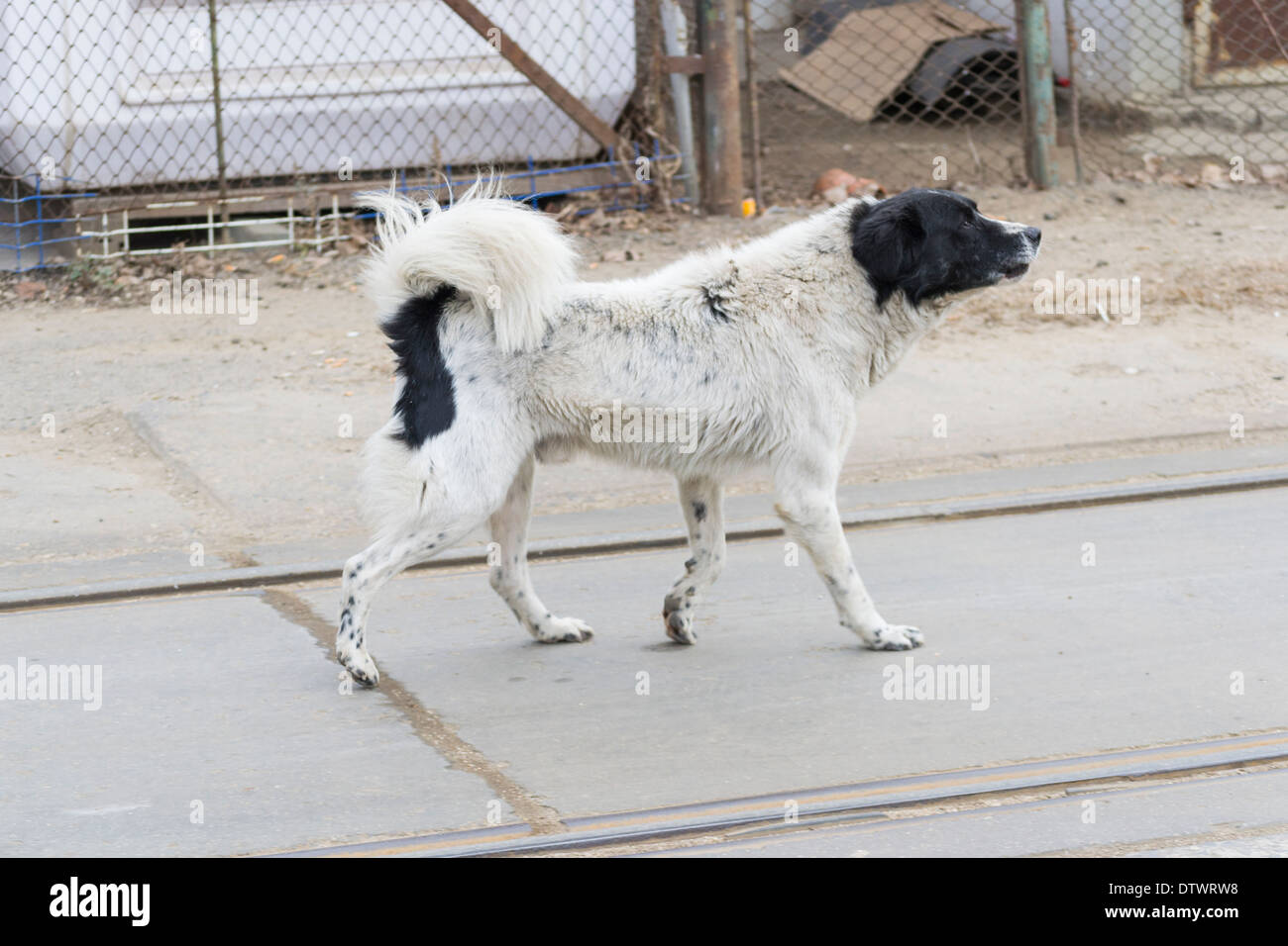 Mixed black and white stray dog (Canis lupus familiaris) - Stock Image