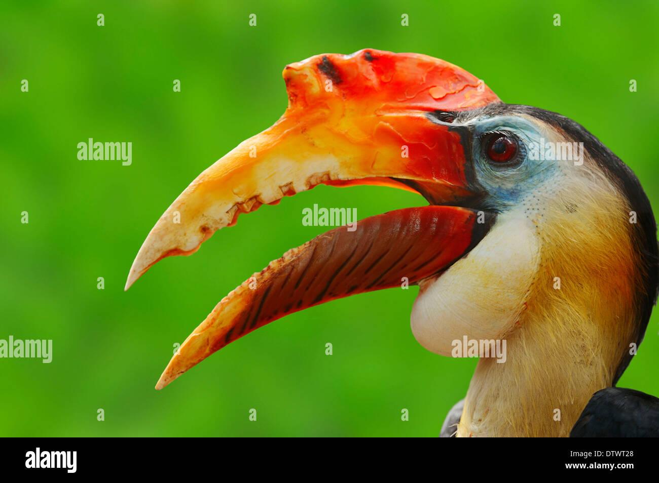 Sunda Wrinkled Hornbill - Stock Image