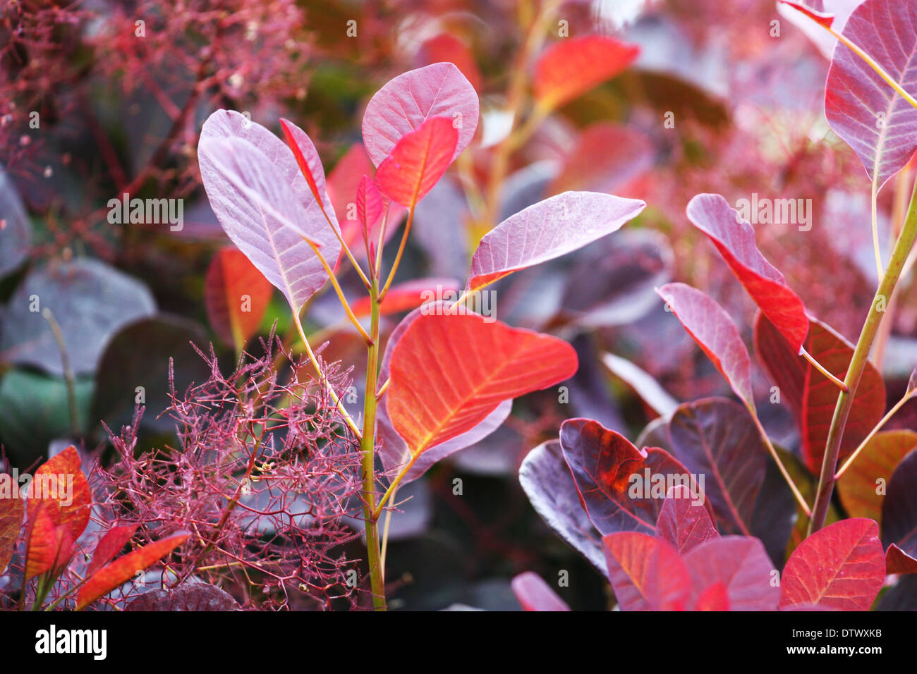 Red leaves plant Stock Photo