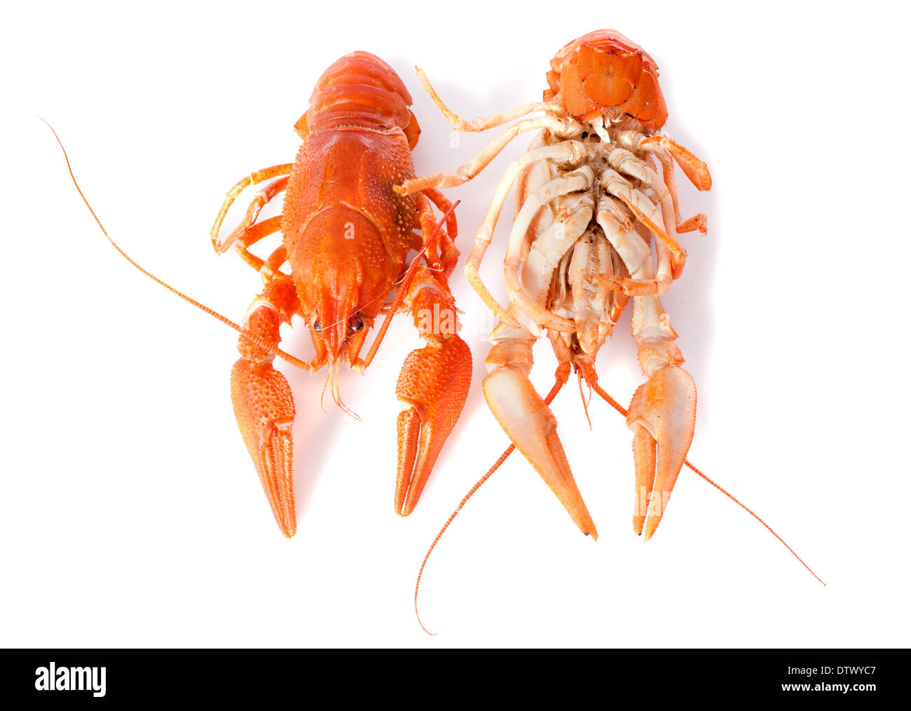 river crayfish in front of white background - Stock Image