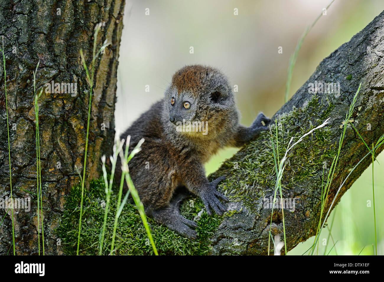 Alaotran Gentle Lemur - Stock Image