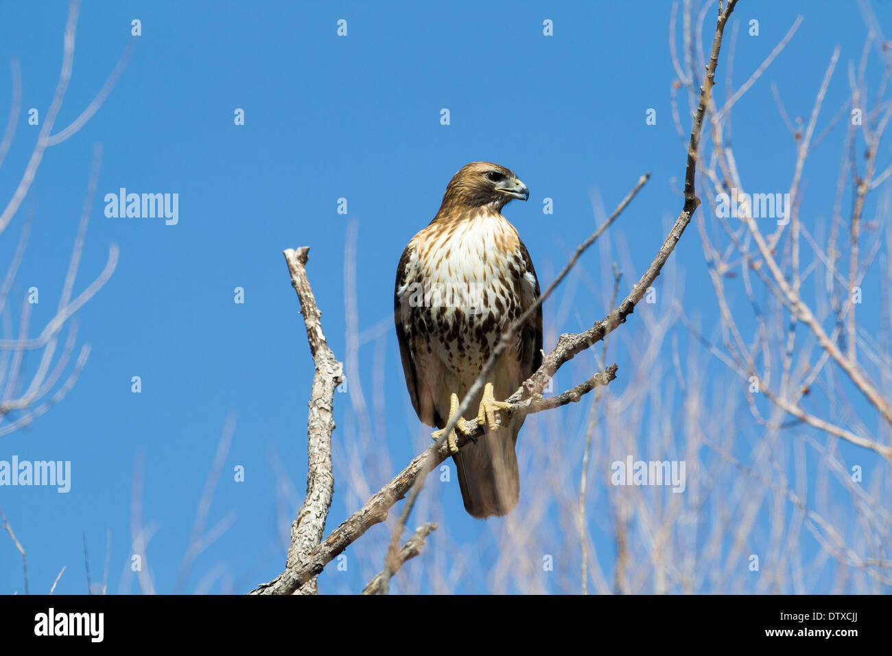 A red-tailed hawk at Bosque del apache, New Mexico - Stock Image