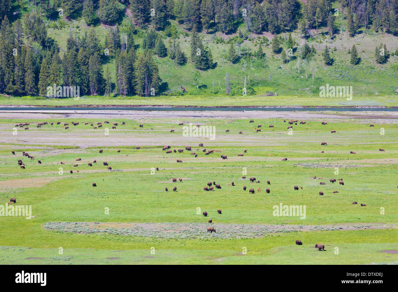 yellowstone bison - Stock Image