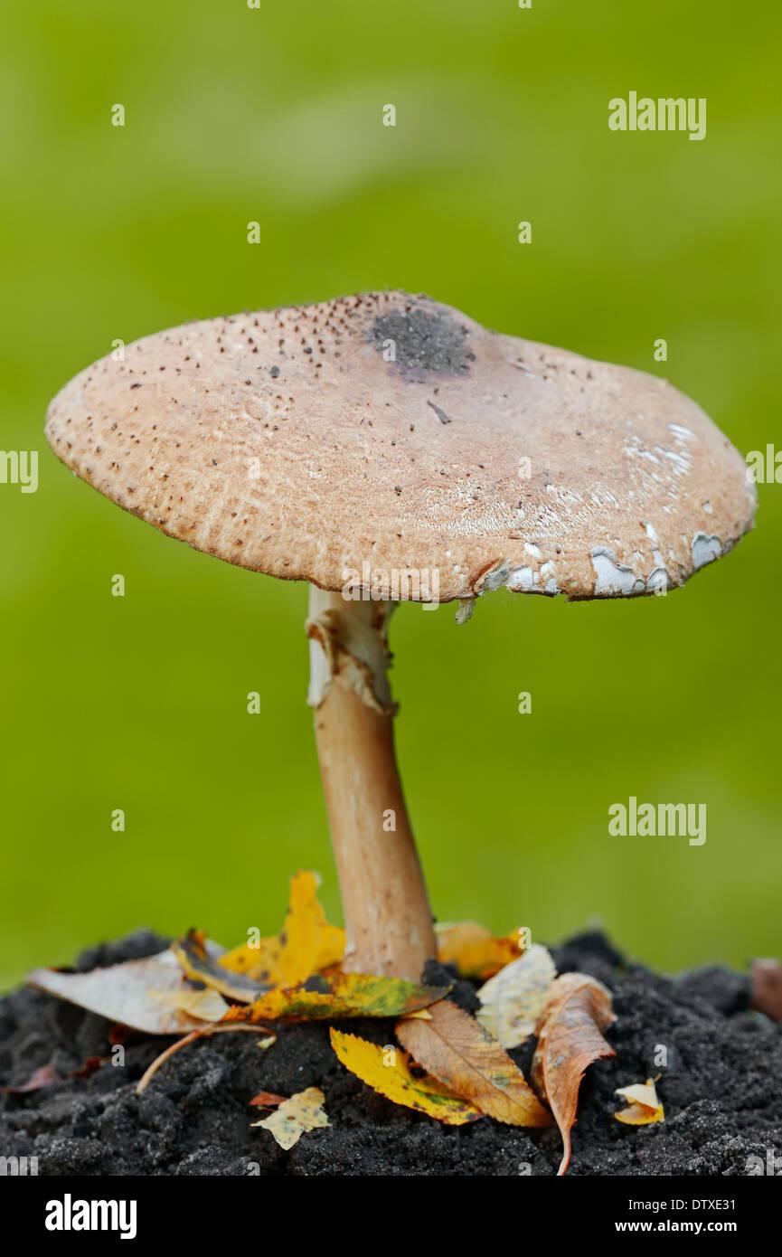 Freckled Dapperling - Stock Image