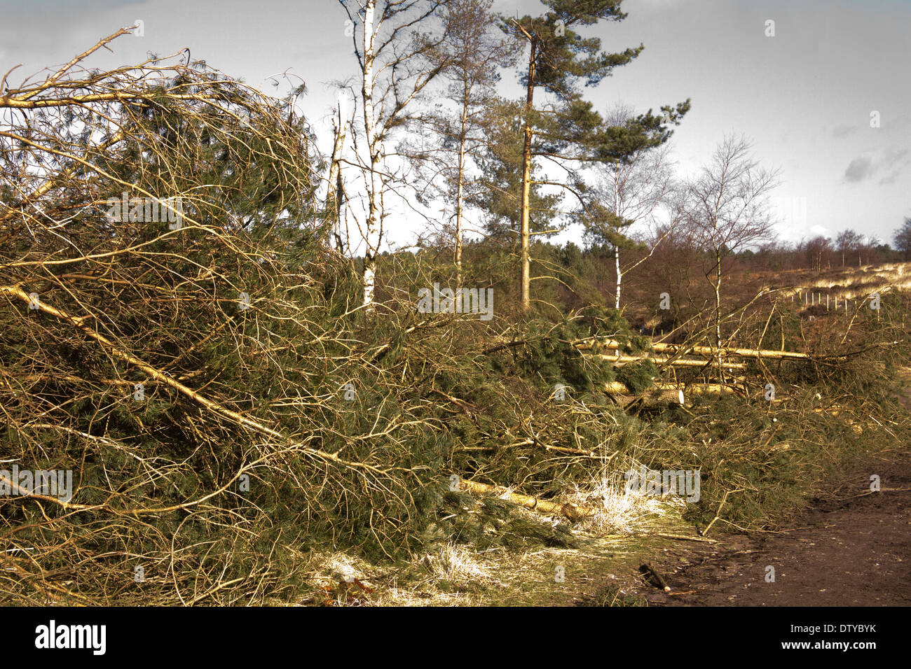 Cannock Chase Staffordshire England UK Fallen conifers brought down by a devastating storm Stock Photo