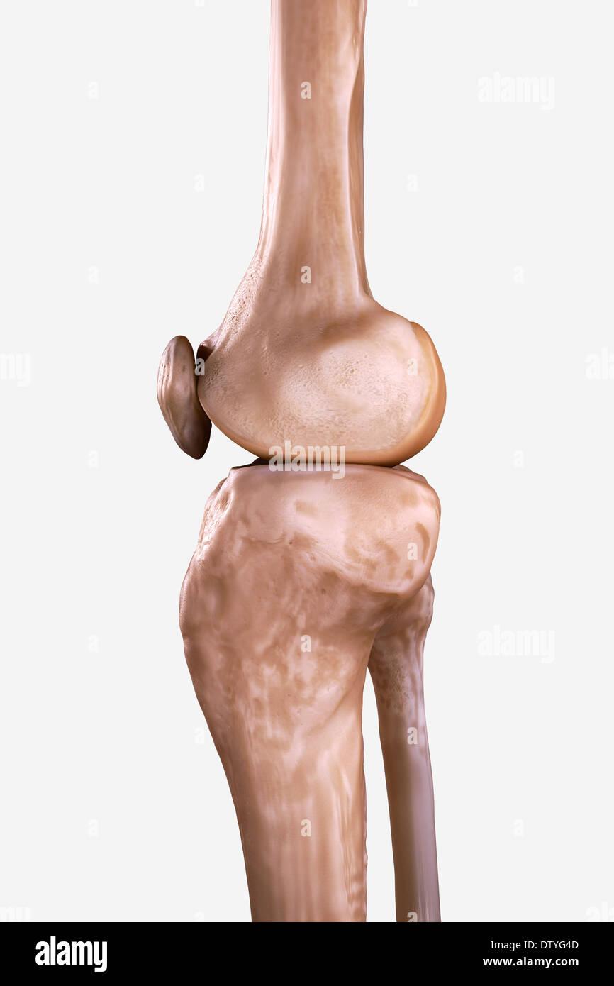 Right Knee Bones Stock Photo: 66988221 - Alamy
