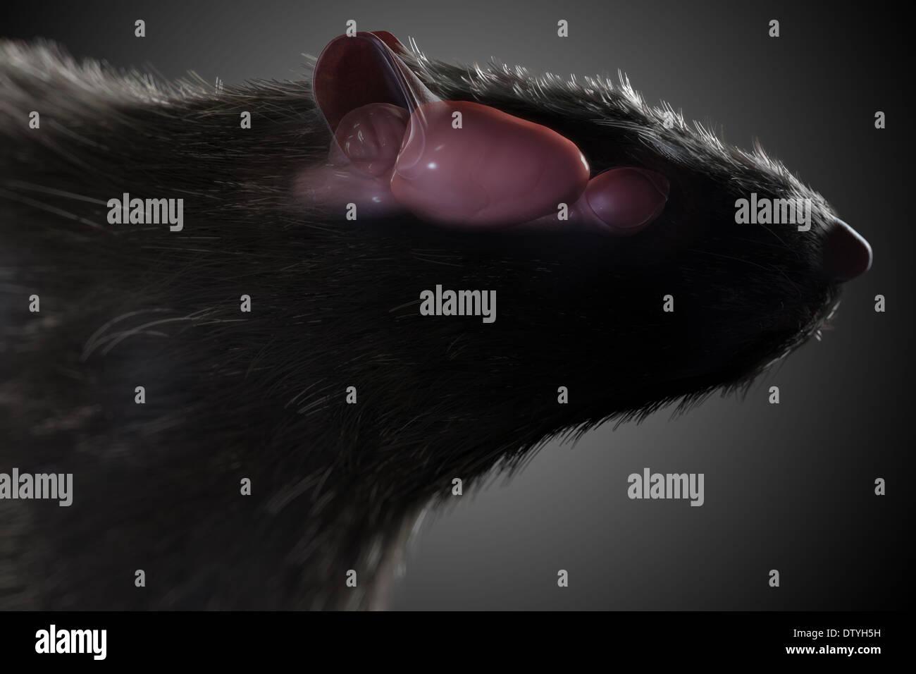 Rat Brain Anatomy Stock Photo: 66989037 - Alamy