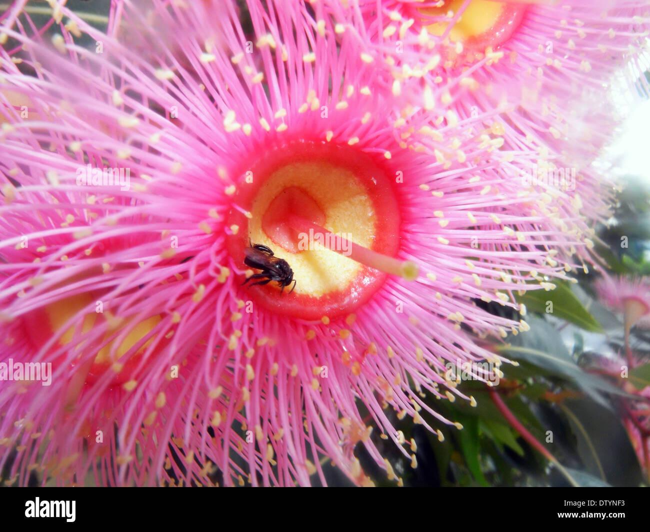 Australian native bee pollinating pink flowering gum corymbia stock australian native bee pollinating pink flowering gum corymbia ficifolia queensland australia mightylinksfo