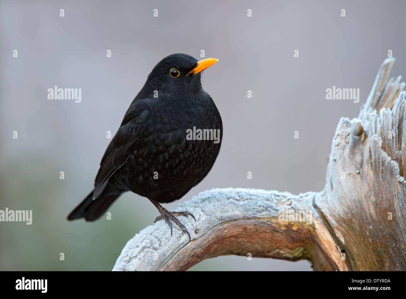Blackbird (Turdus merula), male, Tyrol, Austria - Stock Image