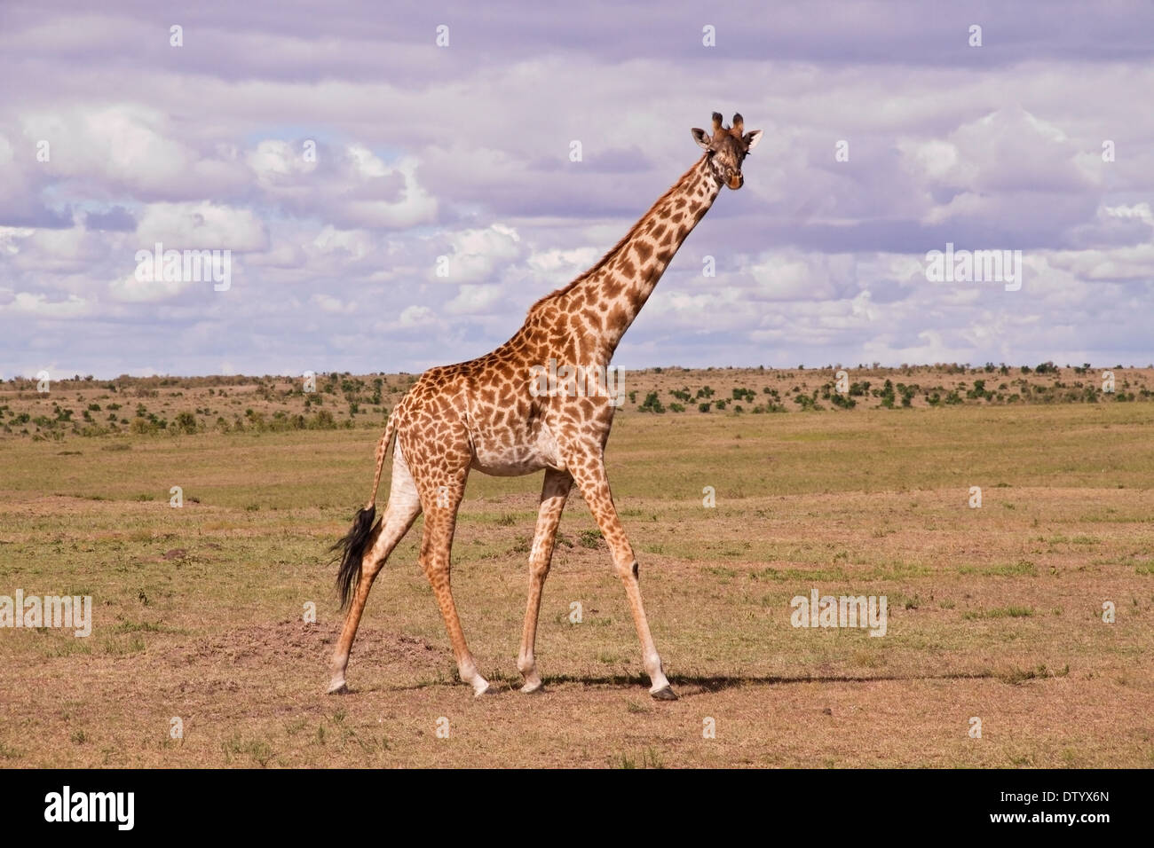 giraffe (Giraffa camelopardalis) adult walking on savanna, Kenya, East Africa - Stock Image