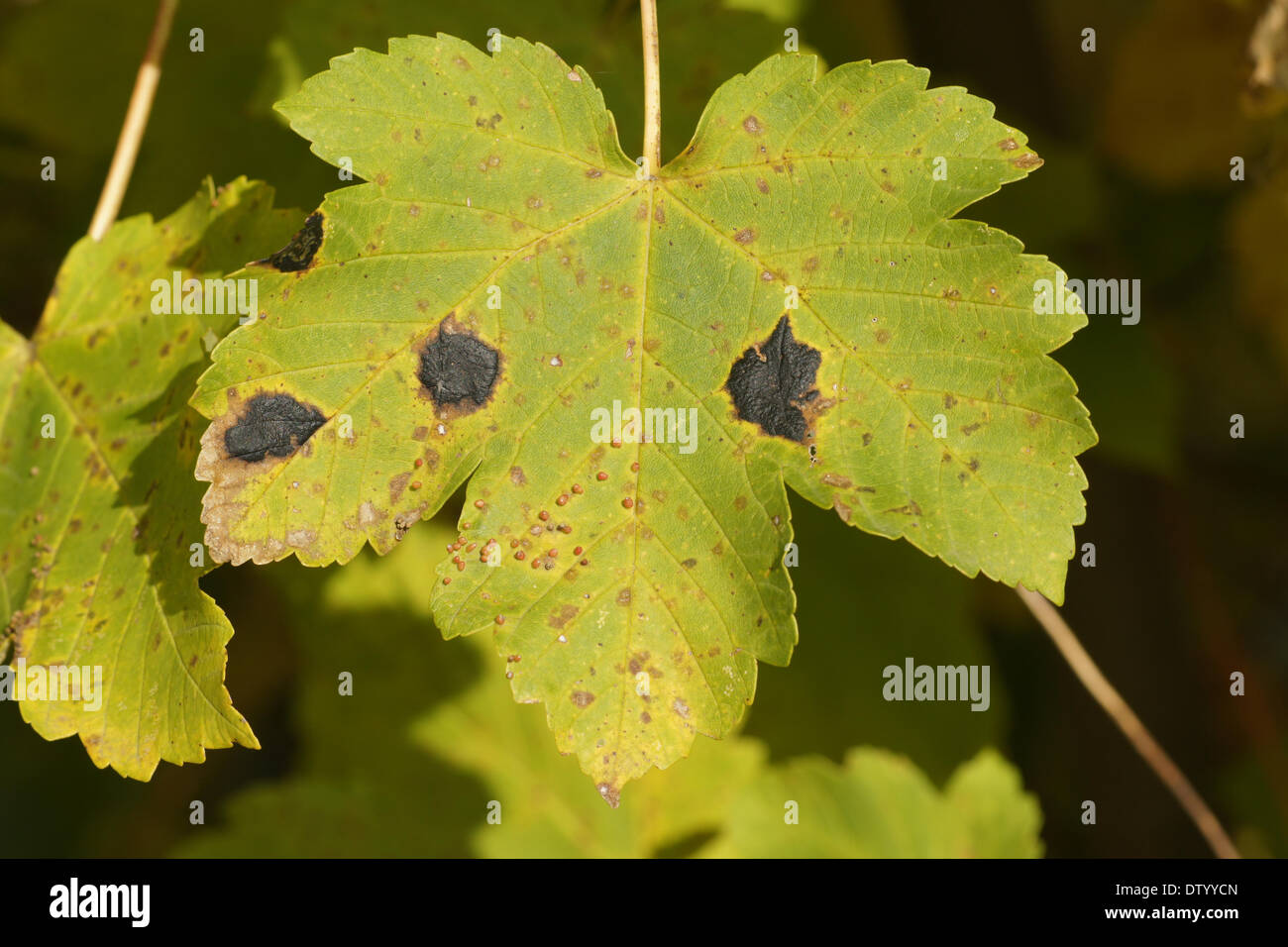 Tar spot on sycamore maple leaf - Stock Image