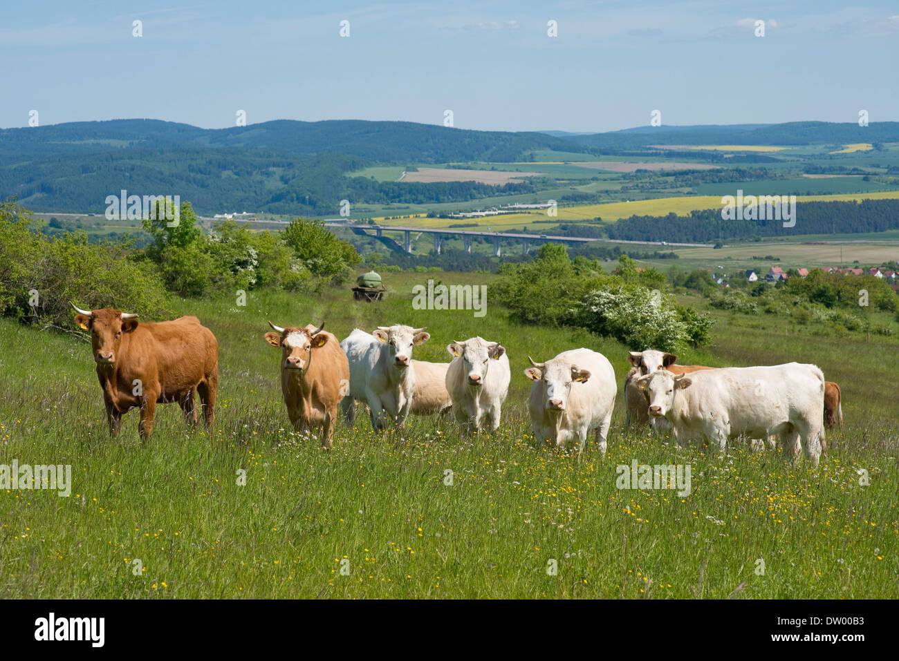 Domestic cattle standing on a pasture, motorway A71 and the Thuringian Forest at the back, Thuringia, Germany - Stock Image