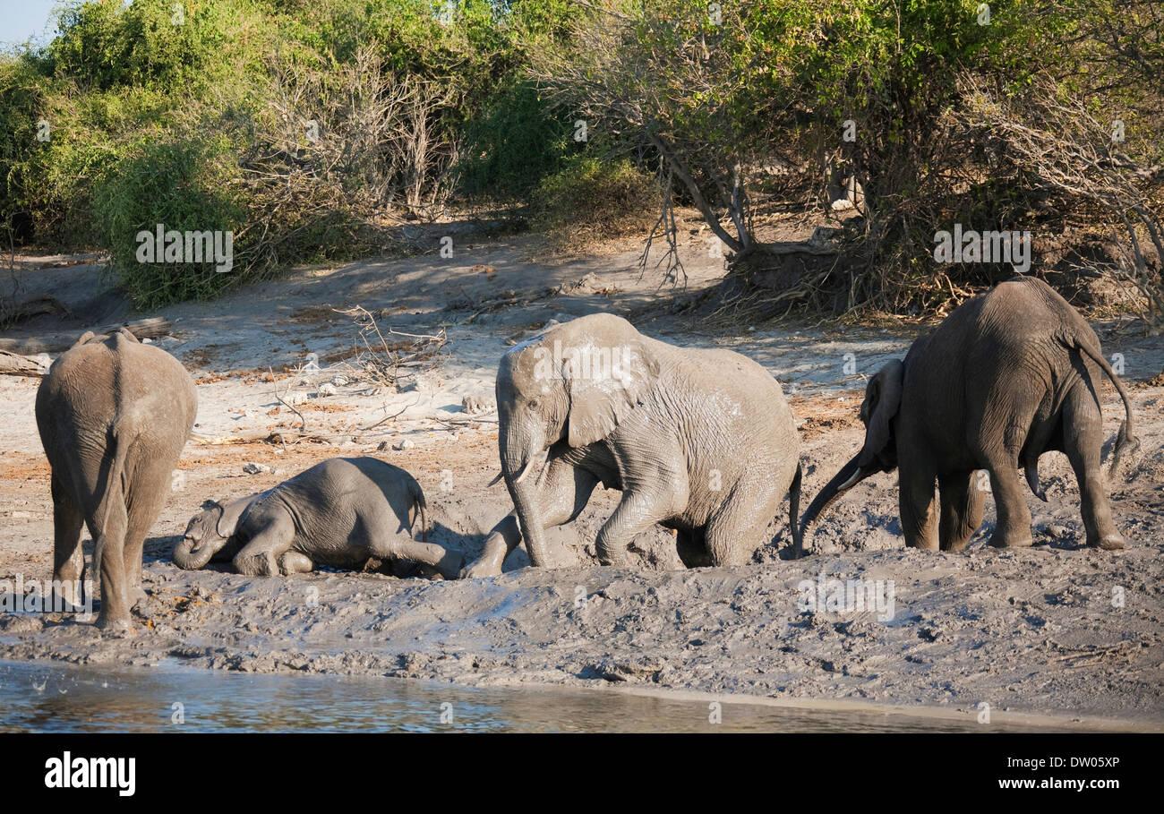 African Elephants (Loxodonta africana), small family at a muddy pool next to the Chobe River, Chobe National Park, Botswana - Stock Image