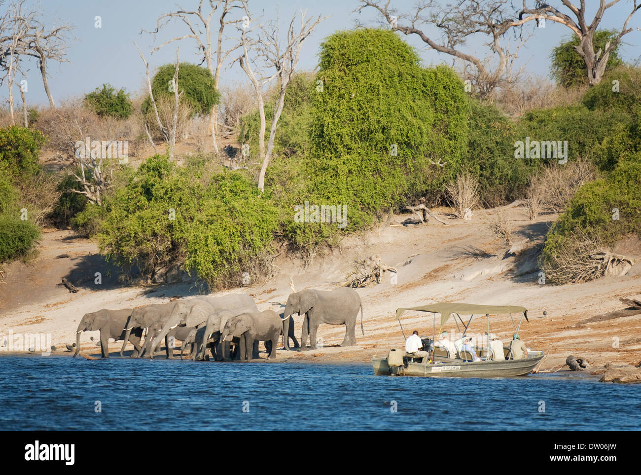 Tourists on a boat cruise on the Chobe River observe a breeding herd of African Elephants (Loxodonta africana) drinking at the - Stock Image