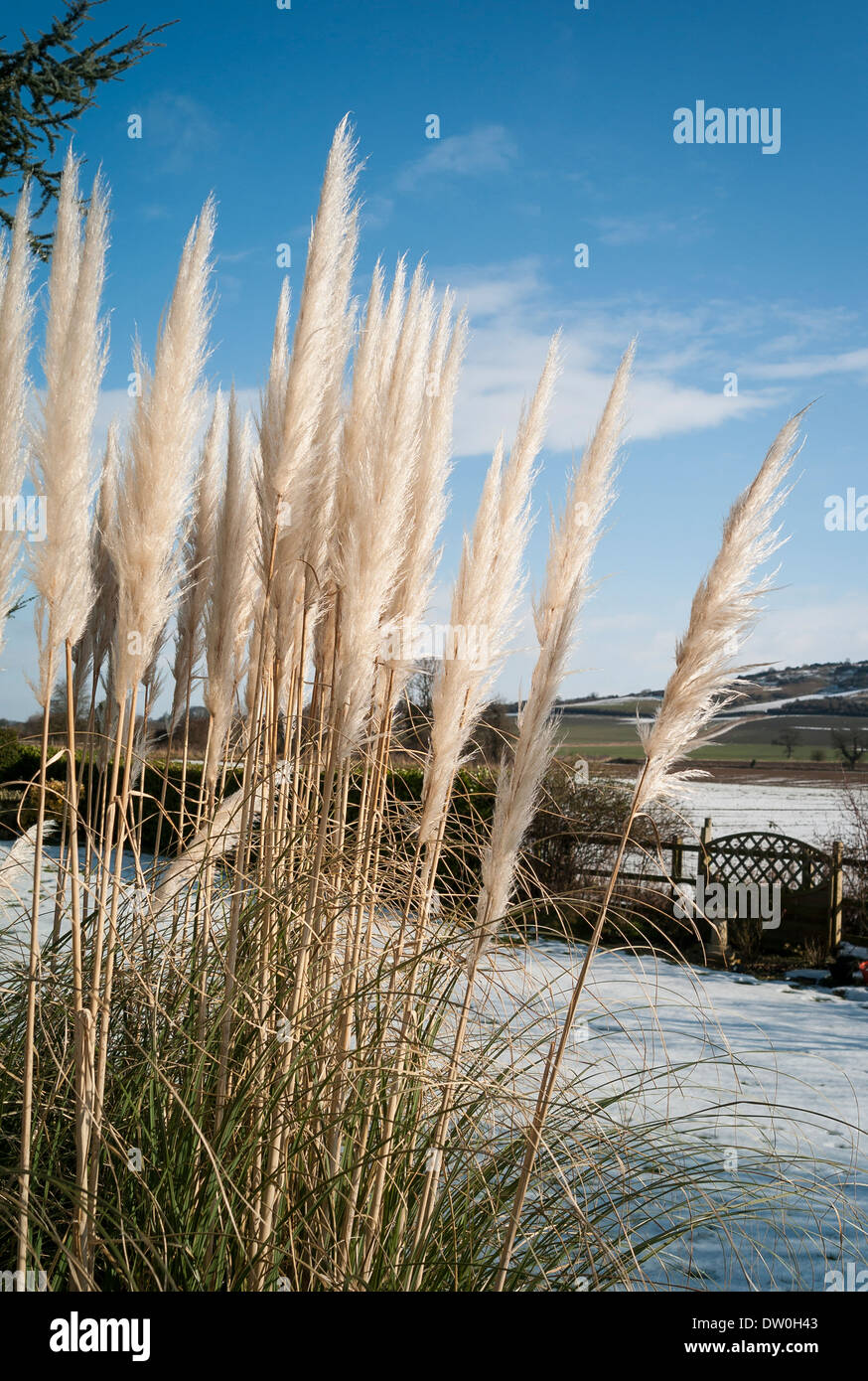 Pampas grass plumes in an English garden in winter - Stock Image