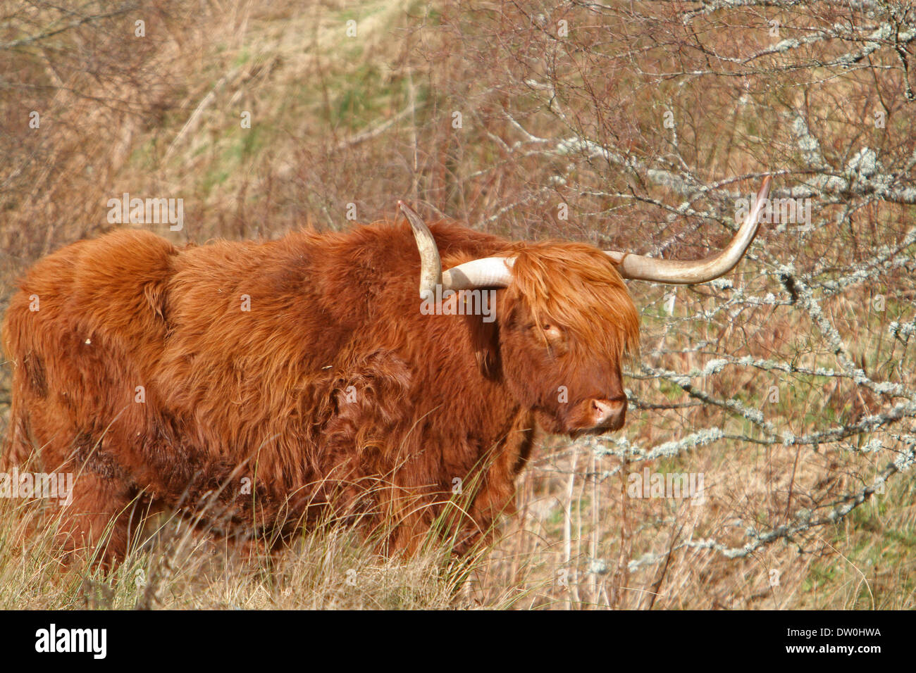 Carrbridge,uk,25th February 2014,Highland cattle grazing in the sunshine ©Keith Larby Stock Photo