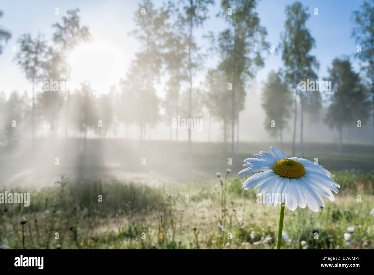 Morning Sun Shining Through Mist and Trees onto a Meadow with a Daisy in the Foreground - Stock Image