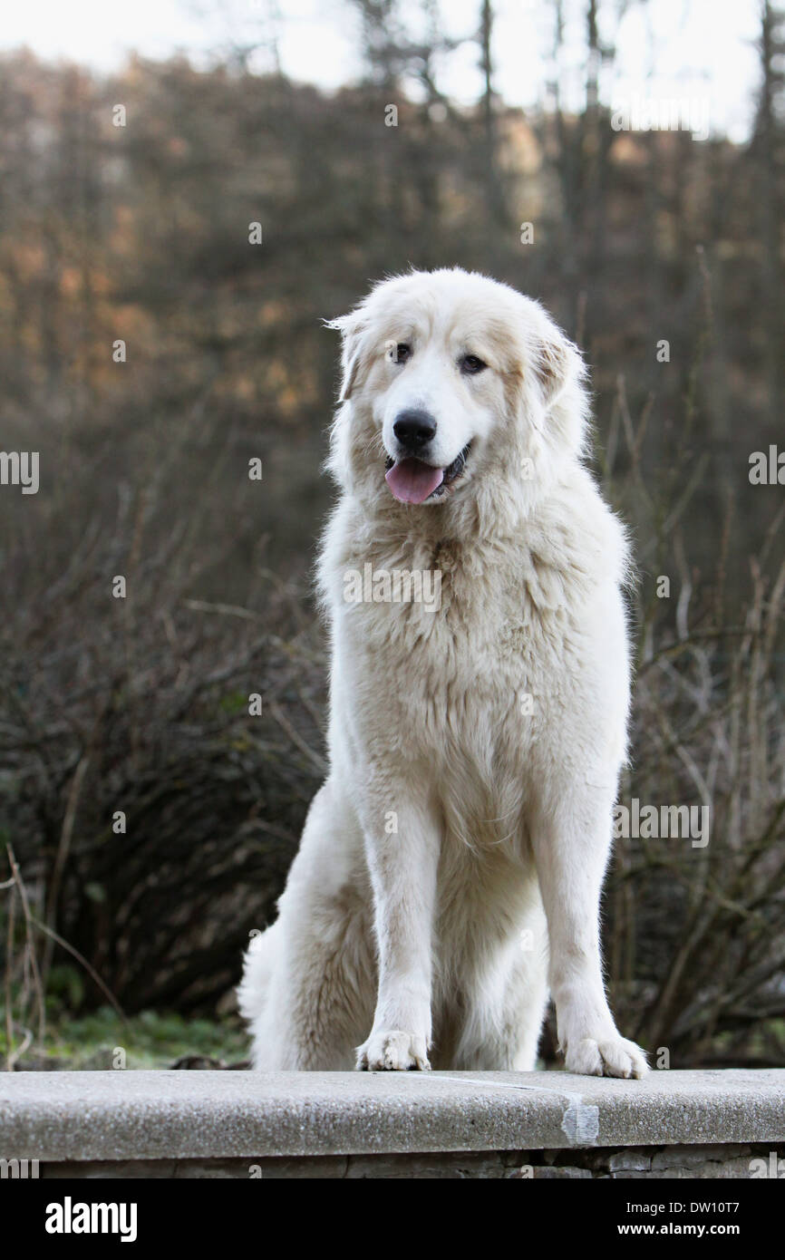 Pyrenean Mountain Dog  /  adult standing on a wall Stock Photo