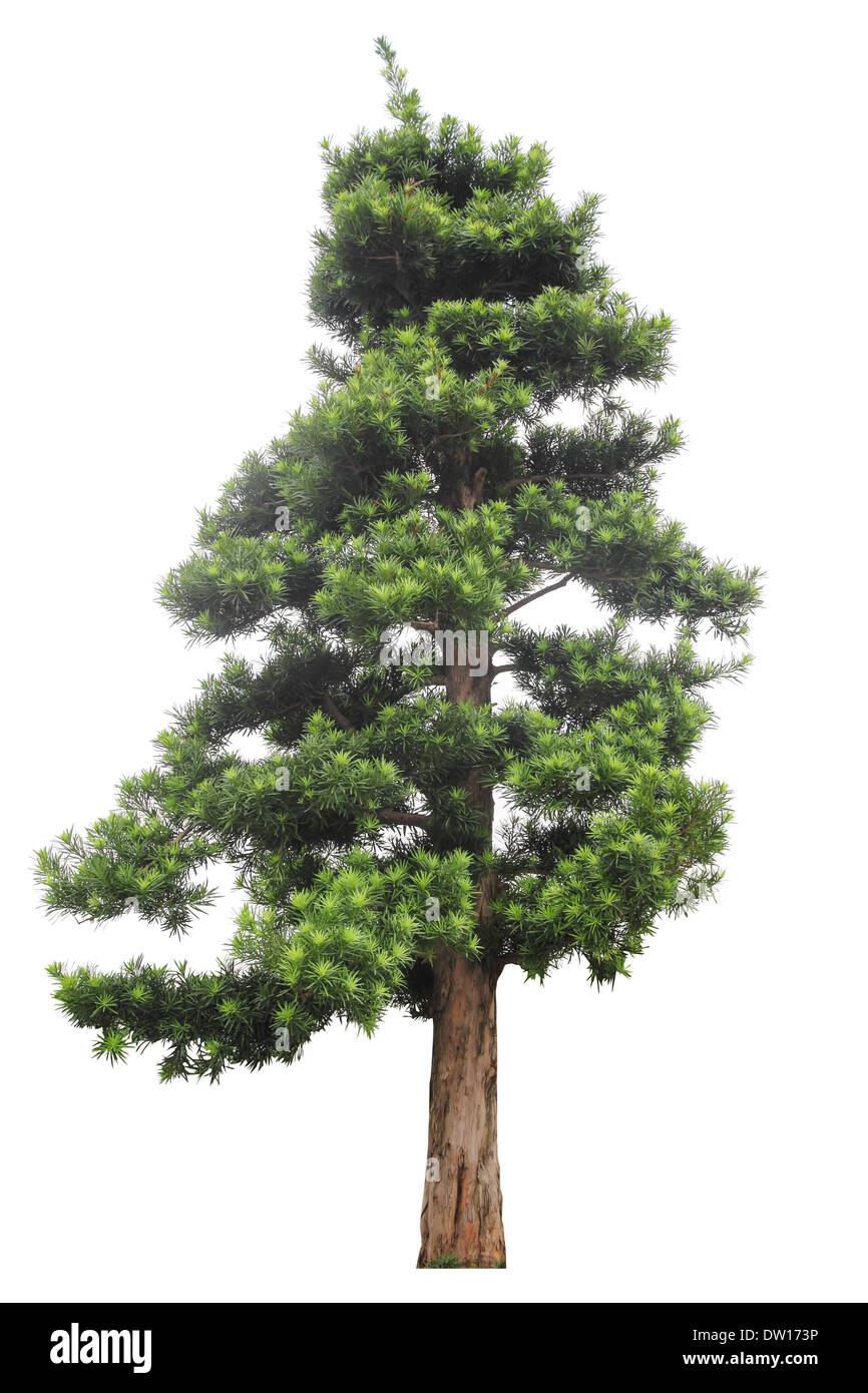 podocarpus isolated on white - Stock Image