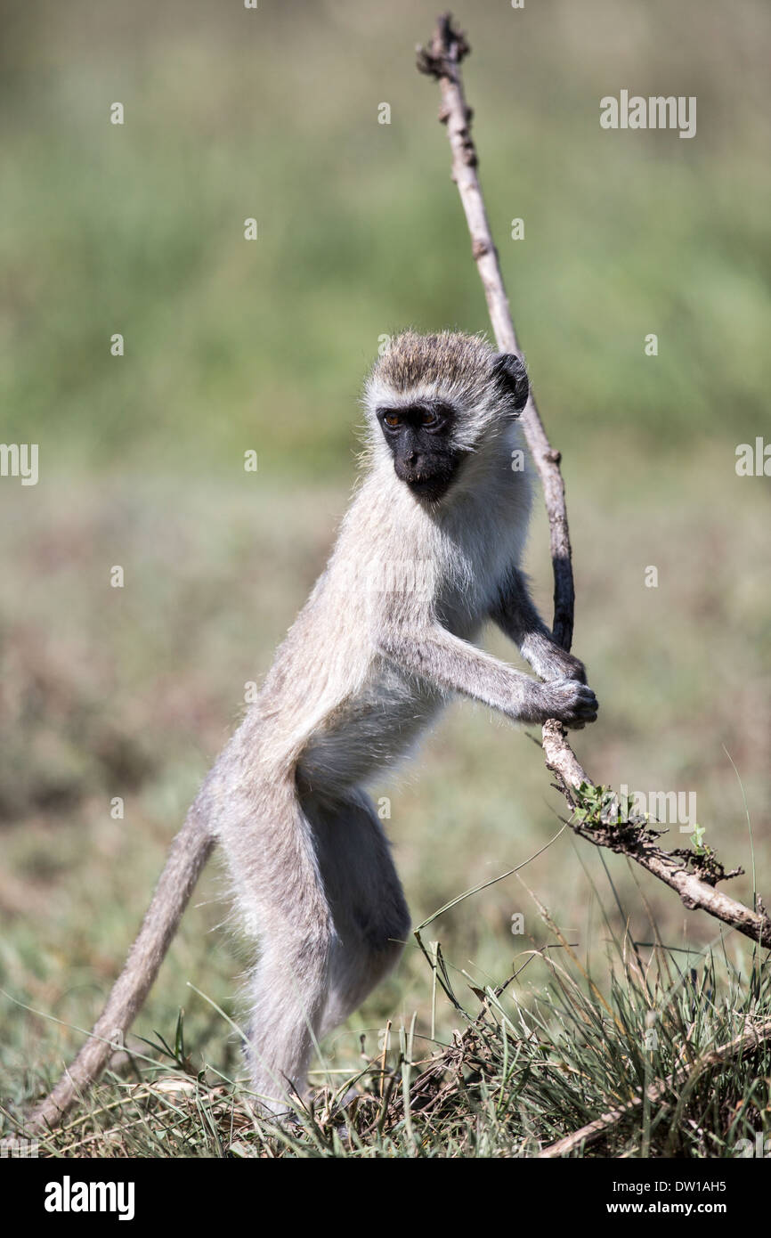Vervet  old world monkey playing - Stock Image