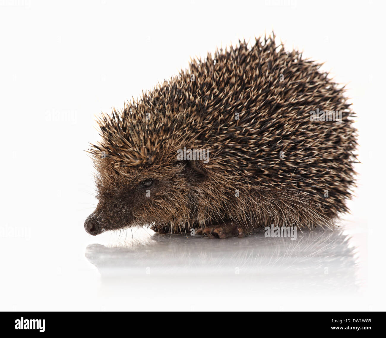 closeup of hedgehog - Stock Image
