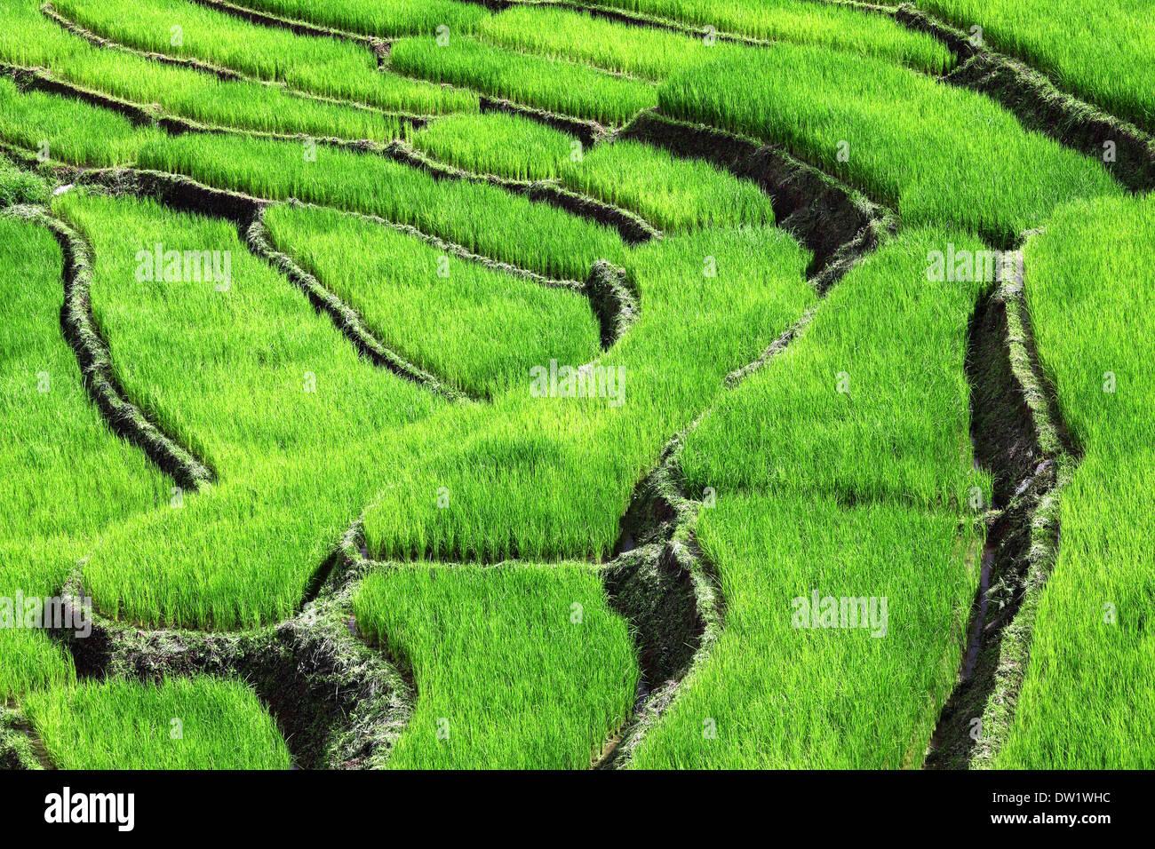 rice field - Stock Image