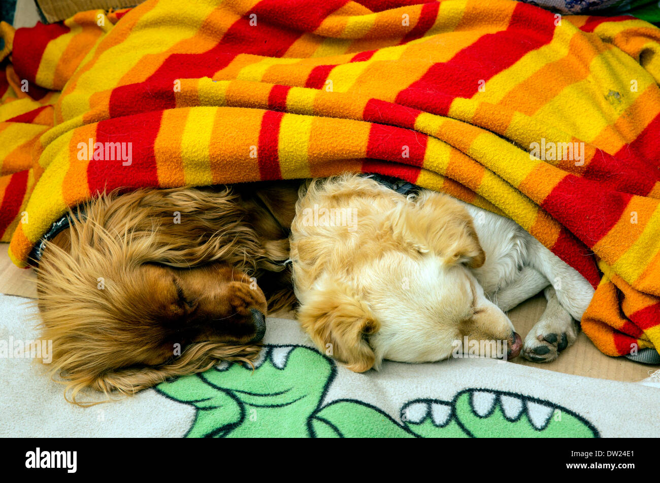 Two dogs sleeping under a blanket. Stock Photo