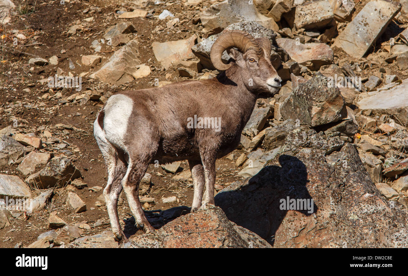 Awesome bighorn! - Stock Image