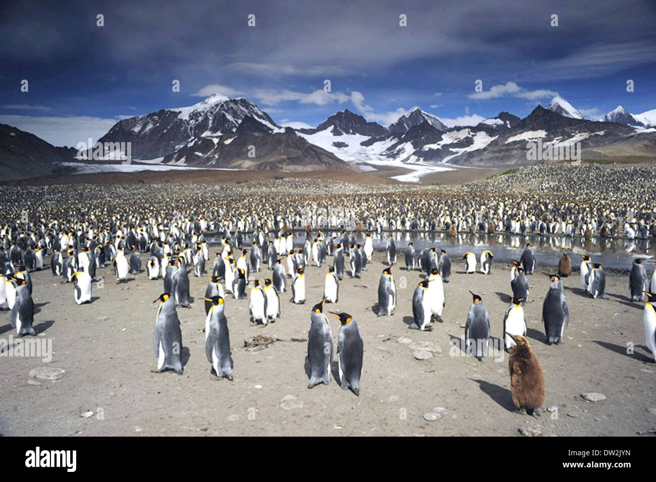ADVENTURES OF THE PENGUIN KING  2013 Cinedigm film - Stock Image