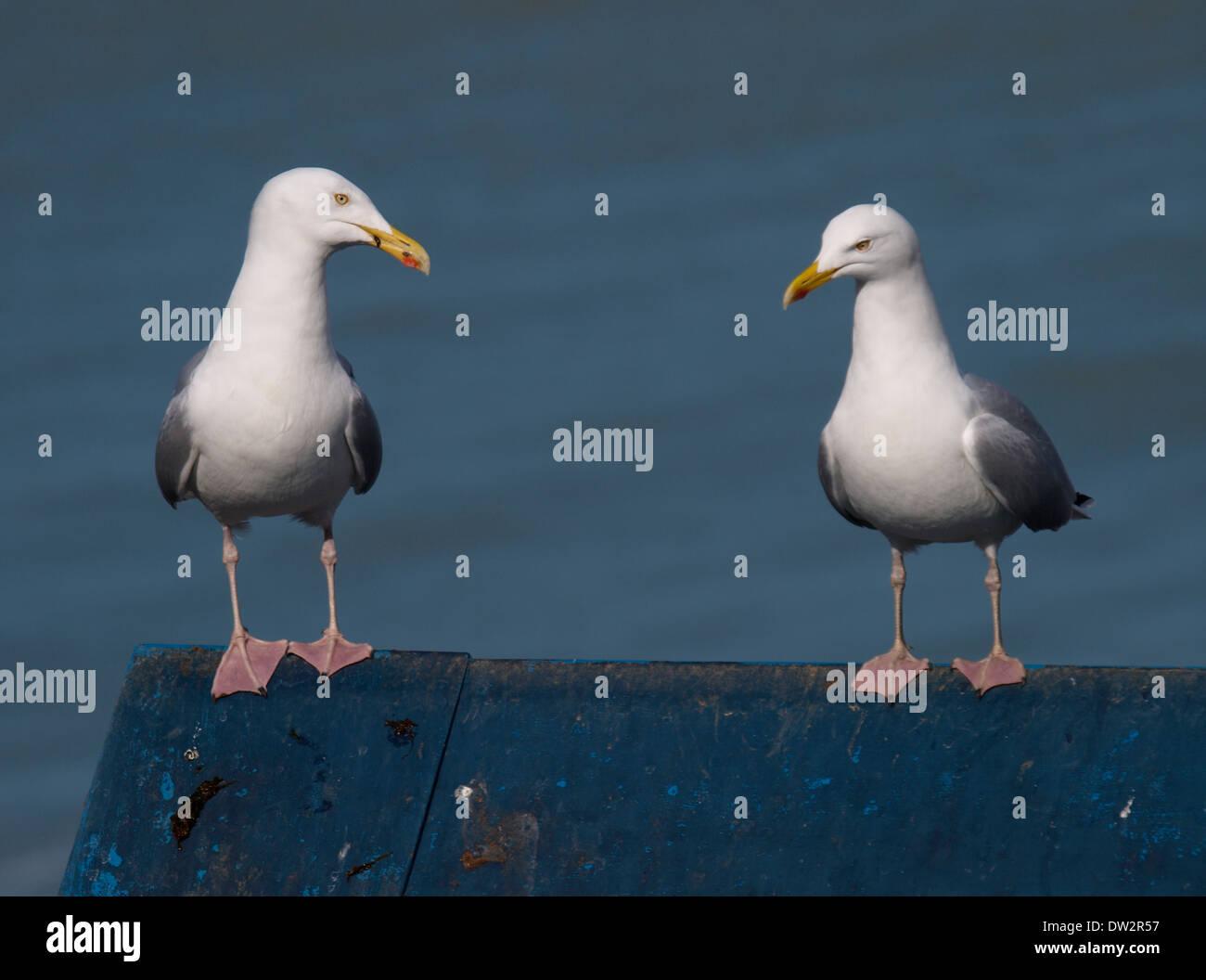 Two Herring gulls, Larus argentatus stood on a roof, Cornwall, UK - Stock Image