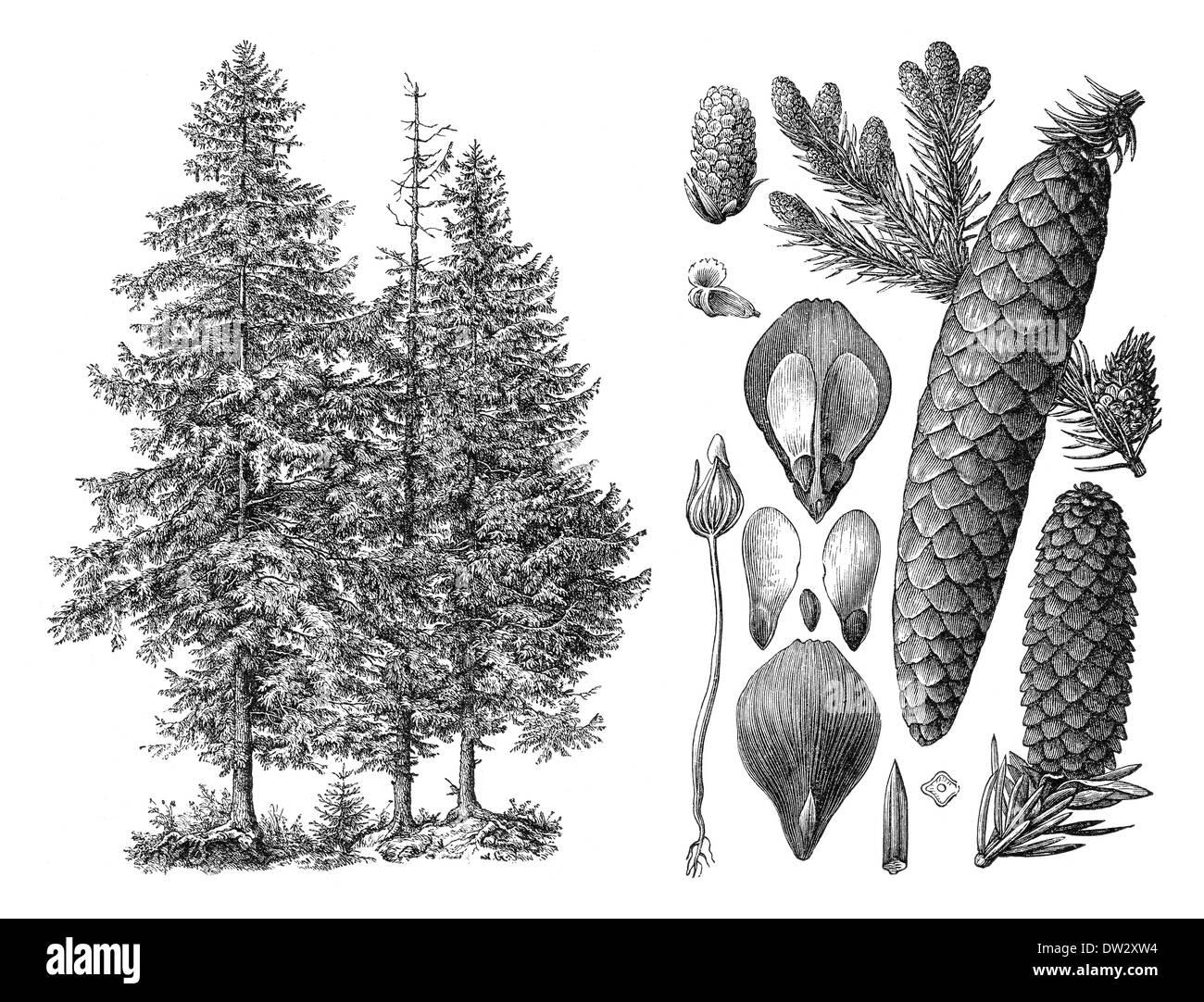 Historical illustration, Norway spruce (Picea abies), European spruce, historische Zeichnung, Gemeine Fichte (Picea abies) - Stock Image