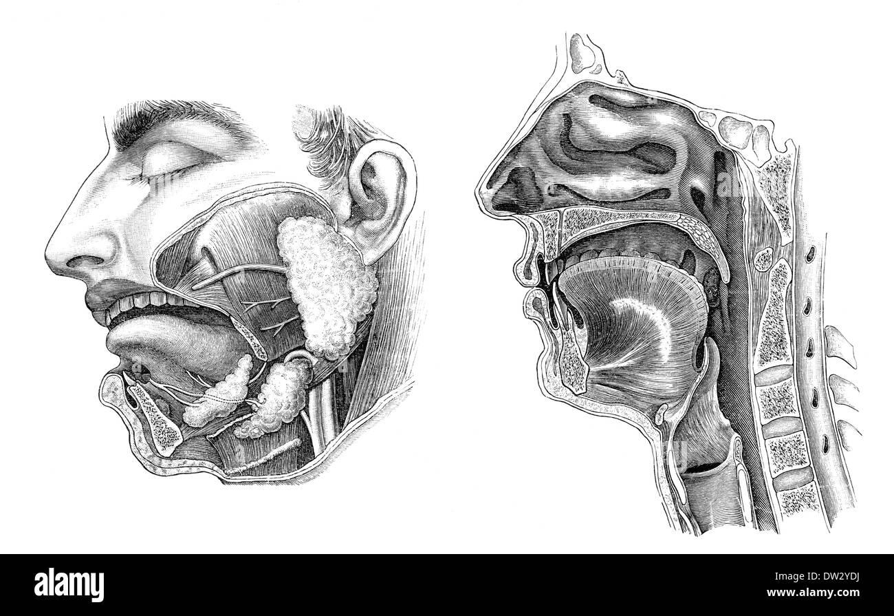 Longitudinal Section Of A Human Head Anatomical Illustration 1896