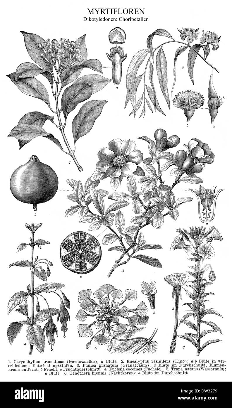 Historical illustration, dicotyledons, also known as dicots - Stock Image