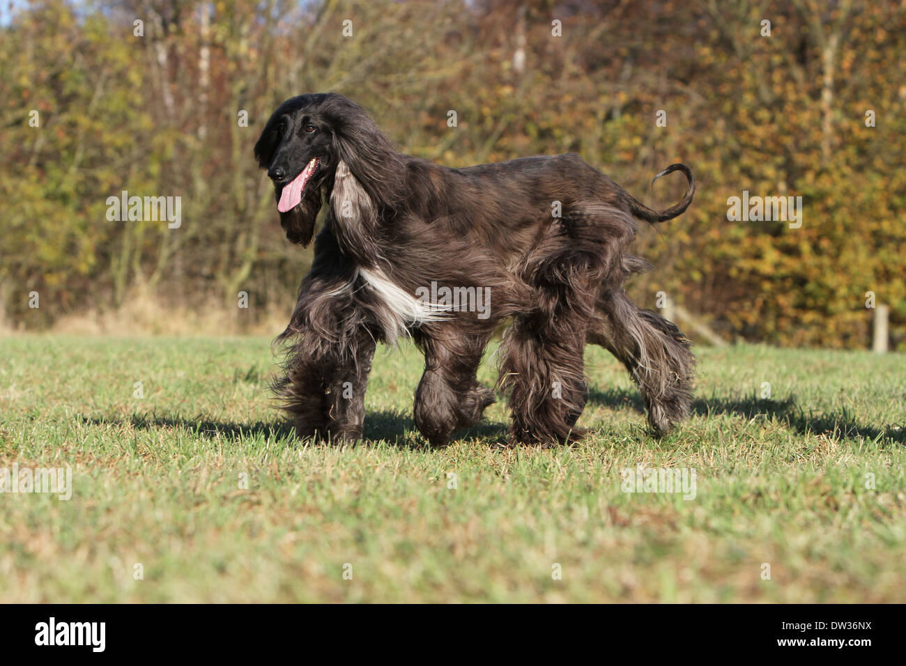 Dog Afghan Hound /  adult walking in a meadow Stock Photo