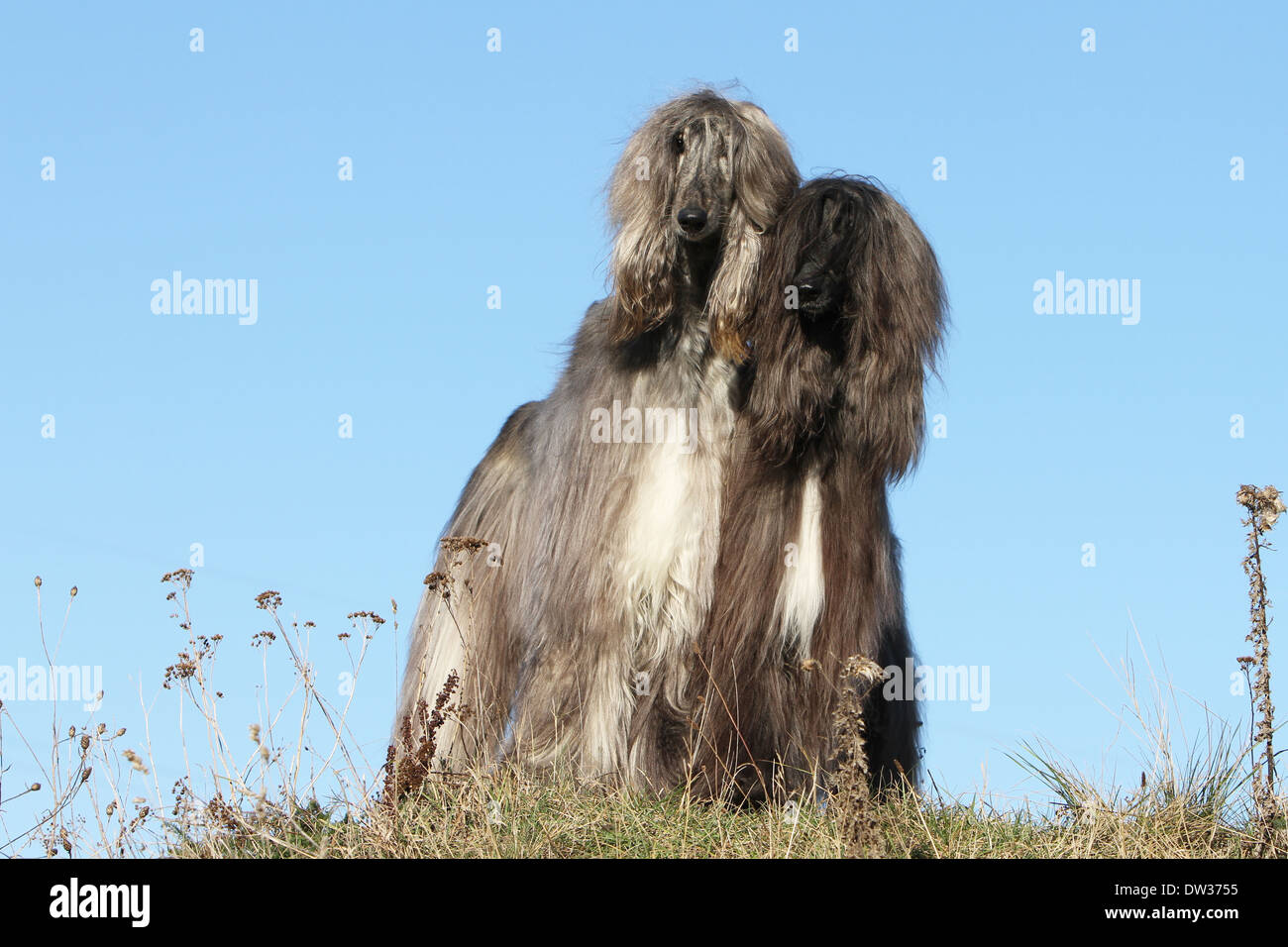 Dog Afghan Hound /  two adults standing in a meadow Stock Photo