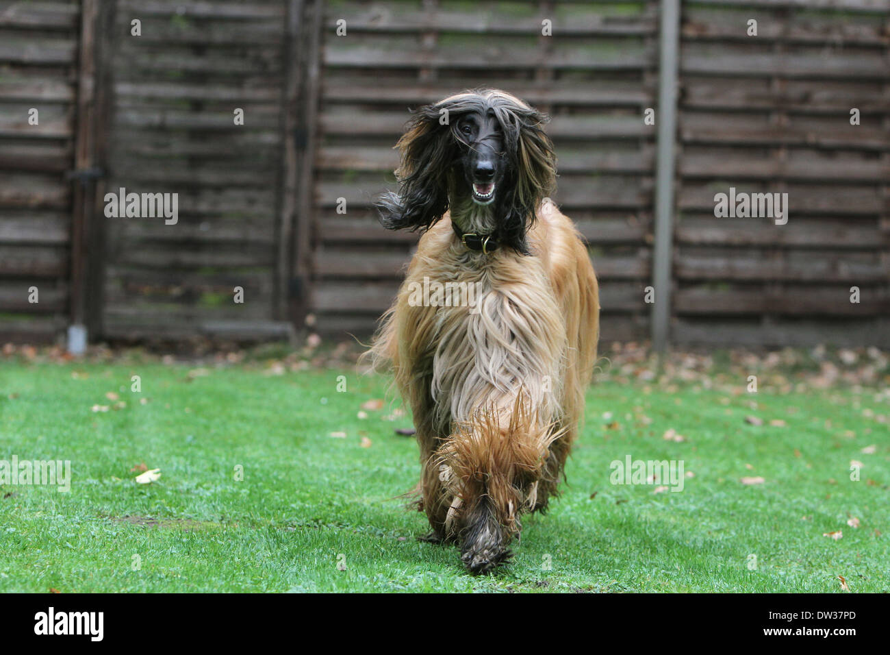 Dog Afghan Hound /  adult running in a garden Stock Photo