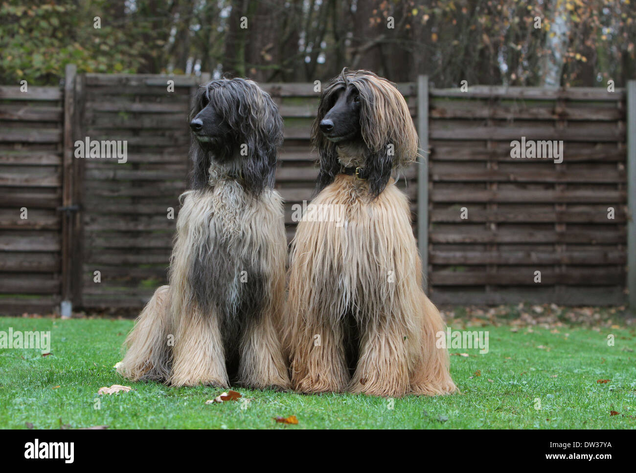 Dog Afghan Hound /  two adults sitting in a garden Stock Photo