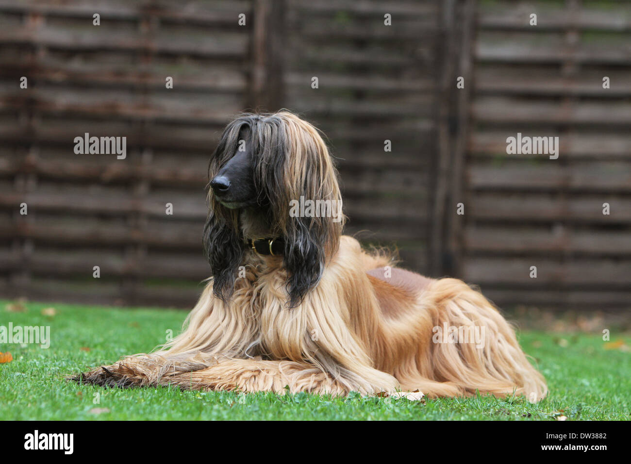 Dog Afghan Hound /  adult lying in a garden Stock Photo