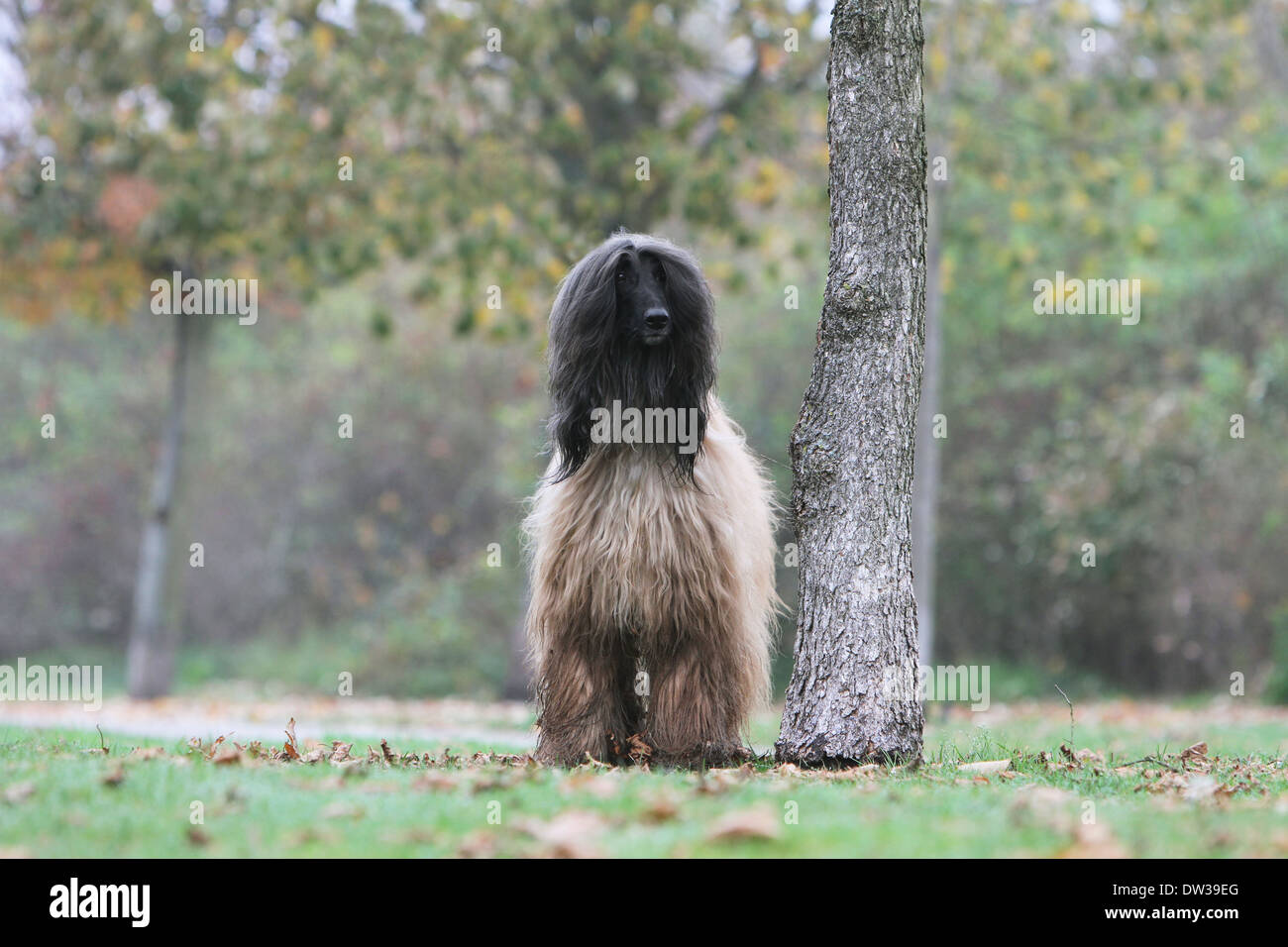 Dog Afghan Hound /  adult standing in a park Stock Photo