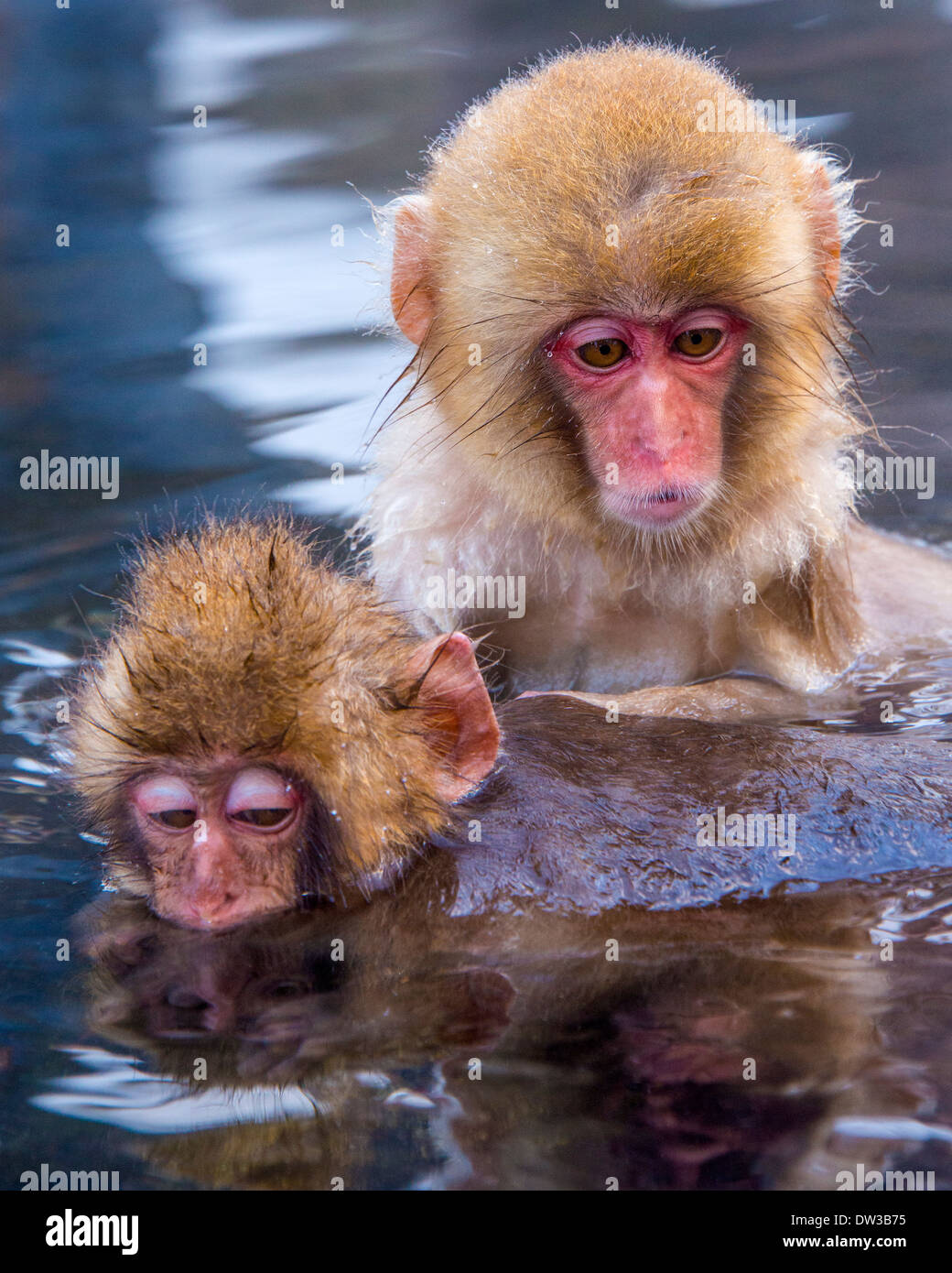 Japanese Snow Monkeys in Nagano, Japan. Stock Photo