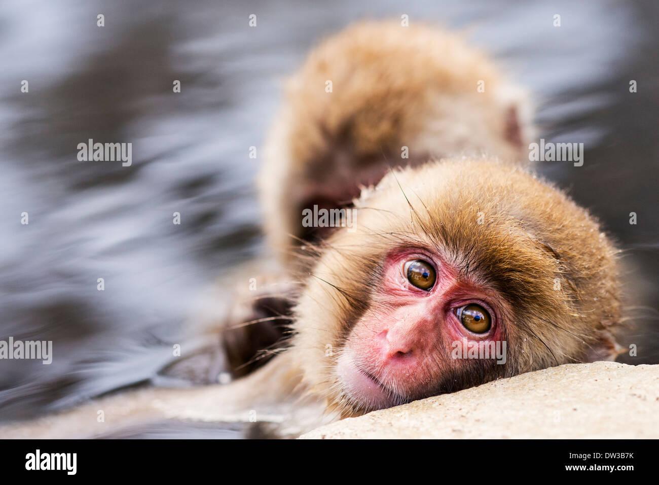 Japanese Snow Monkeys in Nagano, Japan. Stock Photo