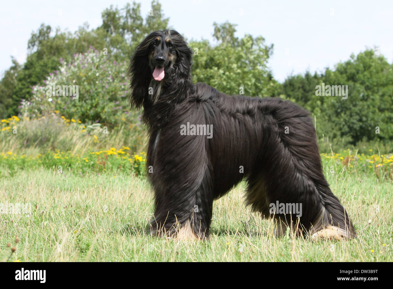 Dog Afghan Hound /  adult standing in a meadow Stock Photo